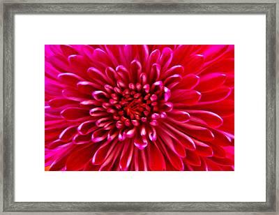 Red Chrysanthemum Framed Print