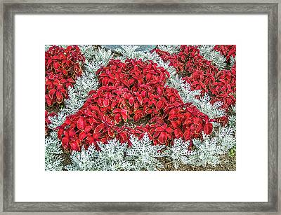 Framed Print featuring the photograph Red Coleus And Dusty Miller Plants by Sue Smith