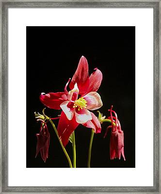 Red Columbine Flower Framed Print