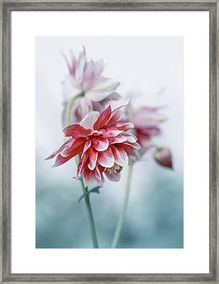 Red Columbines Framed Print