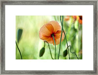 Red Corn Poppy Flowers 02 Framed Print by Nailia Schwarz