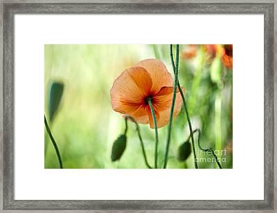 Red Corn Poppy Flowers 02 Framed Print