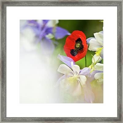 Red Corn Poppy Framed Print by Heiko Koehrer-Wagner