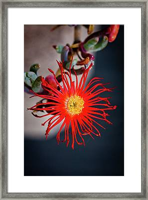 Framed Print featuring the photograph Red Crab Flower by Bruno Spagnolo