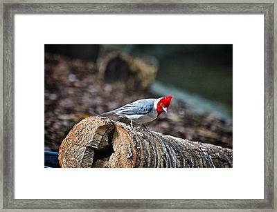 Red Creasted Cardinal Framed Print