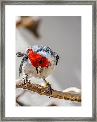 Red-crested Cardinal  Framed Print