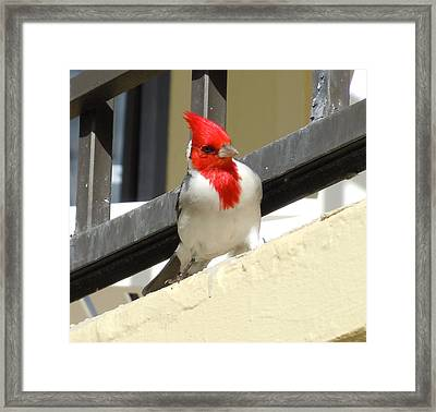 Red-crested Cardinal Posing On The Balcony Framed Print
