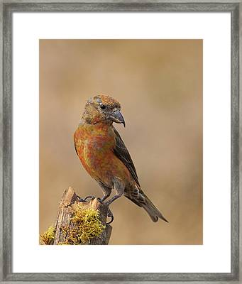 Red Crossbill Framed Print by Doug Herr