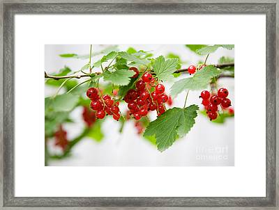 Red Currant Framed Print