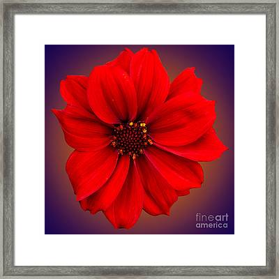 Framed Print featuring the photograph Red Dahlia-bishop-of-llandaff by Brian Roscorla