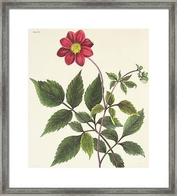 Red Dahlia Framed Print