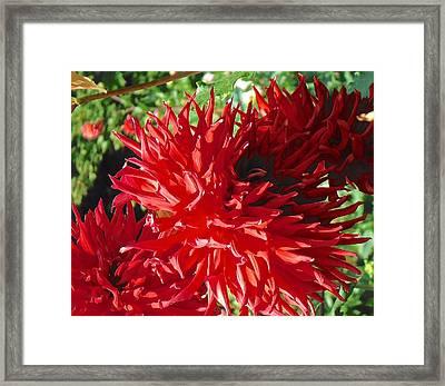 Red Dahlia Pizazz  Framed Print
