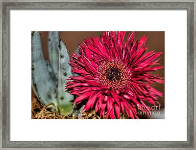 Framed Print featuring the photograph Red Daisy And The Cactus by Diana Mary Sharpton
