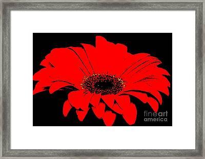 Red Daisy On Black Background Framed Print by Marsha Heiken