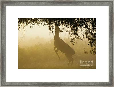 Framed Print featuring the photograph Red Deer - Cervus Elaphus - Hind Browsing Or Feeding On Willow Le by Paul Farnfield