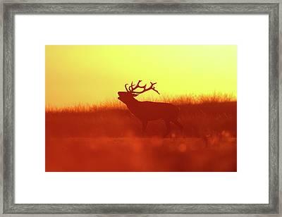 Red Deer In Red Light Framed Print