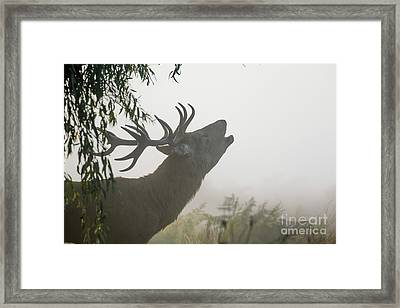 Framed Print featuring the photograph Red Deer Stag - Cervus Elaphus - Bellowing Or Roaring On A Misty M by Paul Farnfield