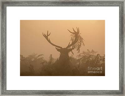 Red Deer Stag Cervus Elaphus Displaying At Sunrise With Bracken On Antlers Framed Print