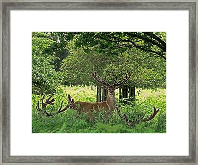 Red Deer Stag Framed Print by Rona Black