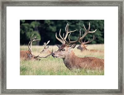 Red Deer Stags Richmond Park Framed Print
