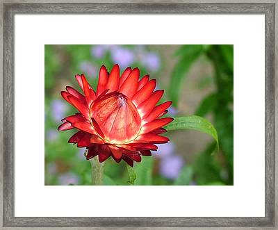 Red Devil Framed Print by Martina Fagan