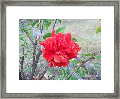 Red Double Hibiscus Framed Print