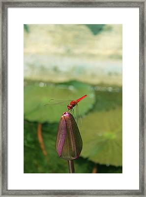 Red Dragonfly At Lady Buddha Framed Print