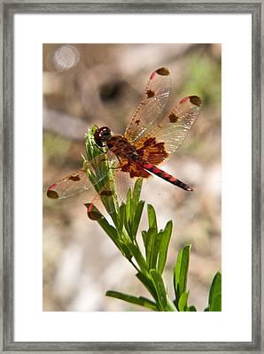 Red Dragonfly Framed Print by Douglas Barnett