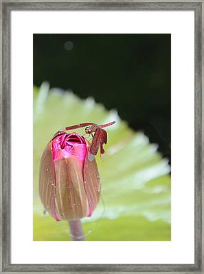 Red Dragonfly Framed Print by Jessica Rose