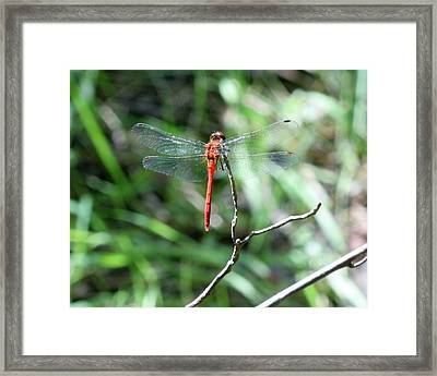 Framed Print featuring the photograph Red Dragonfly by Karen Silvestri