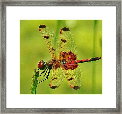 Red Dragonfly Framed Print by Thomas  McGuire
