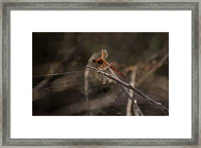 Red Dragonfly  Framed Print by Zina Stromberg
