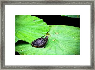 Red-eared Slider Framed Print