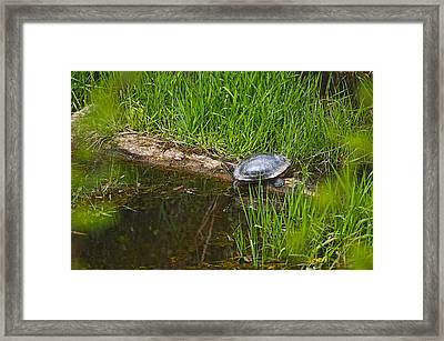 Red Eared Slider On A Log 2 Framed Print by Sharon Talson