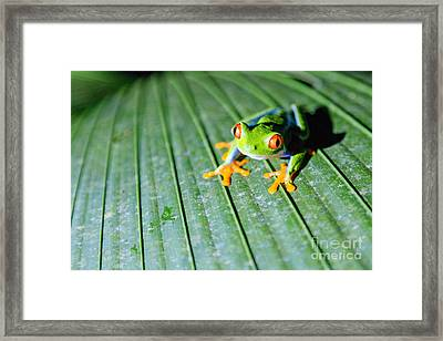 Red Eyed Frog Close Up Framed Print by Matteo Colombo
