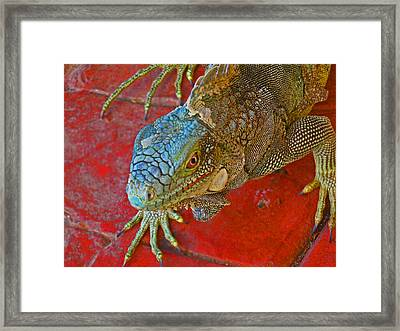 Red Eyed Iguana Photo Framed Print by Kelly     ZumBerge