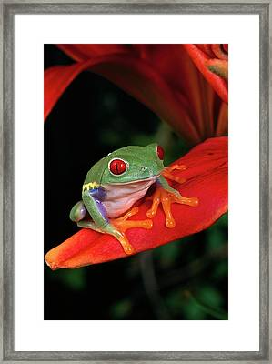 Red-eyed Tree Frog Agalychnis Framed Print by Michael Durham