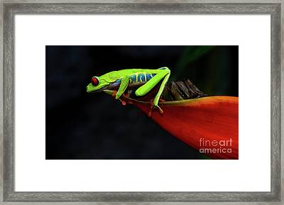 Red Eyed Tree Frog Costa Rica 11 Framed Print by Bob Christopher