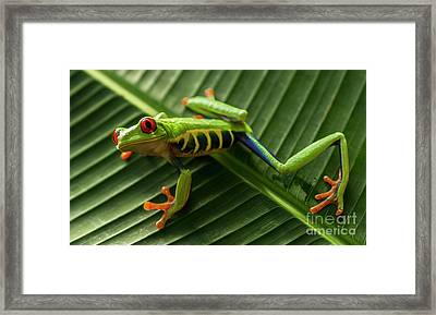 Red Eyed Tree Frog Costa Rica 6 Framed Print by Bob Christopher