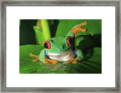 Red Eyed Tree Frog Framed Print