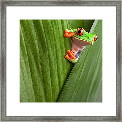 Red Eyed Tree Frog  Framed Print by Dirk Ercken