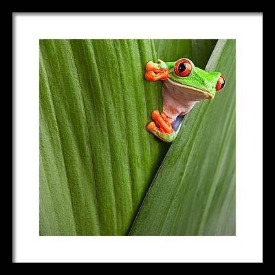 Red Eyed Tree Frog Framed Prints