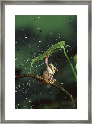 Red-eyed Tree Frog In The Rain Framed Print by Michael Durham