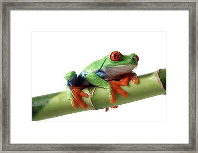 Red-eyed Tree Frog Framed Print by Mlorenzphotography