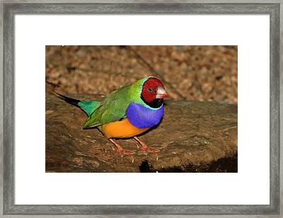 Red Faced Gouldian Finch Framed Print