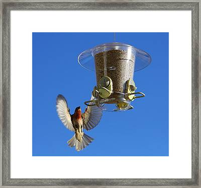 Red Finch And Feeder Framed Print