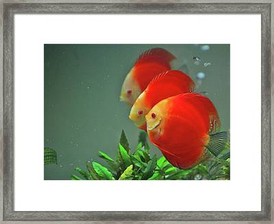 Red Fish Framed Print by Vietnam