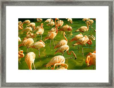 Red Florida Flamingos In Green Water Framed Print
