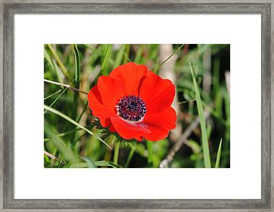 Red Anemone Coronaria 4 Framed Print by Isam Awad