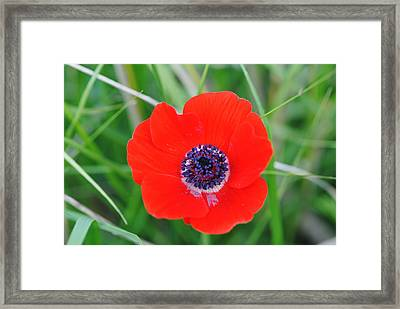 Red Anemone Coronaria 3 Framed Print by Isam Awad
